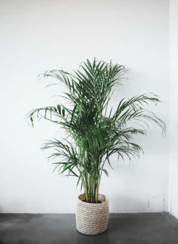 dypsis
