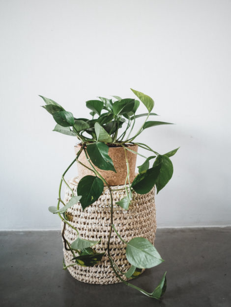 PHILODENDRONS SCANDENS