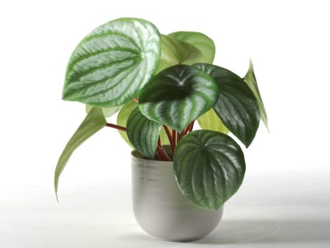 PEPEROMIA D'ARGENT